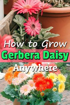 Learn everything about Gerbera Daisy Care & Growing to grow this magnificent flowering plant both indoors and outdoors. Gerbera Daisy Care, Gerbera Daisies, Dahlias, Garden Plants, House Plants, Best Air Purifying Plants, Evergreen Landscape, Most Popular Flowers, Hibiscus Plant