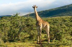 Ein Roadtrip entlang der Garden Route in Südafrika führt uns von Kapstadt Richtung Eastern Cape über den Addo Elephant Park und das Pumba Game Reserve.