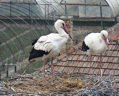 Magyar gólya kamerák - madarlesok.lapunk.hu Bird, Cute, Animals, Animales, Animaux, Birds, Kawaii, Animal, Animais