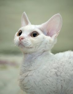 "(White Devon Rex Cat) * * "" Yoo gotta run more den yer mouth to escape de dreadmill of mediocrity. A true hustler jogs durin' de day and sleep walks atz nite."" [Jarod Kintz"