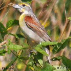 Birds   Types of Birds   Birds of North America   Brian Young