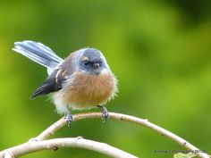 Fantail/pīwakawaka..Known for its friendly 'cheet cheet' call and energetic flying antics, the aptly named fantail is one of the most common and widely distributed native birds on the New Zealand mainland. AndreaEL Photography NZ