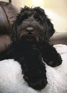 Black Labradoodle Puppy, Mini Goldendoodle Puppies, Australian Labradoodle, Goldendoodles, Cockapoo, Dogs And Kids, Big Dogs, Animals Beautiful, Cute Animals