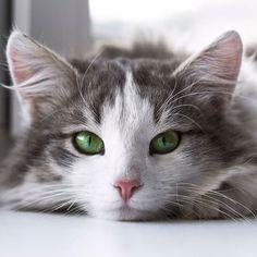 Sabia que higiene é muito importante pra mim? Me cuido sempre e com minha língua mesmo...  Foto by Mikhail Vasilyev  #gatos #gato #felino #felinos #cat #pet #saudepets #saudeanimal #amor #animaldeestimação