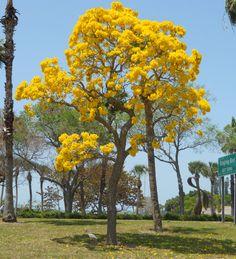 Beautiful Tabebeiua Tree