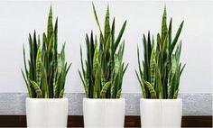 Snake Plants Set Indoor Home Decoration Garden Flower Grown Sansevieria Live