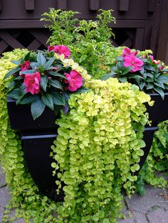 Container Flower Gardening Ideas: A = Creeping Jenny, B= Impatiens, C = Swallowt. - Container Flower Gardening Ideas: A = Creeping Jenny, B= Impatiens, C = Swallowtail Coleus - Container Flowers, Container Plants, Container Gardening, Flower Garden Design, Home Garden Design, Hanging Flower Baskets, Planting Flowers, Flower Gardening, Flowers Garden