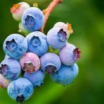 Learn What 4 Berries Can Do For Your Health And Wellness Blueberry Plant, Blueberry Images, Tea Smoothies, Free Fruit, Wild Blueberries, Spring Landscape, Farm Yard, Healthy Fruits, Fruit Recipes