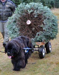 Newfie bringing home the Christmas tree