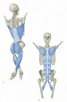 MyofascialFunctional Line by anatomytrains.it. Illustrations by Canova #Anatomy #Myofascial_Functional_Lines