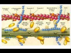 The sliding filament theory of muscle contraction states that the head of myosin cross-bridges can attach to an actin binding site and bend slightly, pulling the actin filaments with it. So myosin and actin help muscle to produce movement. Biology Teacher, Science Biology, Medical Science, Life Science, Medical Humor, Medical Assistant, Study Cards, Exercise Physiology, Muscle Contraction