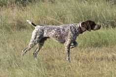 german shorthaired pointer a nellie dog