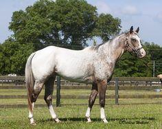Alias Hollywood, Appaloosa Gelding in Florida   Appaloosa Horses for Sale