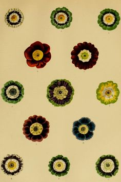 Primula_auricula.jpg (854×1281)