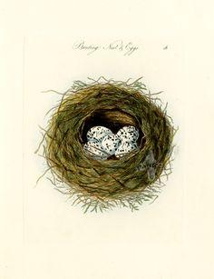 Bunting Nest & Eggs
