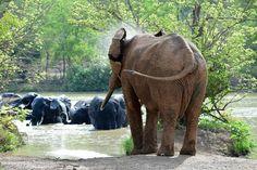 Mole National Park, Ghana , African elephant