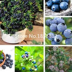 Cheap seeds organic, Buy Quality seed saving directly from China seed drill Suppliers: Free Shipping  100pcs Blueberry Seeds, fruit tree seeds, DIY Garden fruit seedsUSD 0.64/lotFree Shipping. 100pcs/pack re
