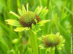 Echinacea.  For more on using colors effectively in planting design - check this out:  http://www.my-garden-school.com/course/designing-with-plants/