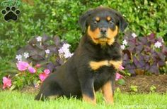 Penny is a beautiful Rottweiler puppy with a docile personality. This well rounded pup is vet checked and up to date on shots and wormer. Penny can be registered with the ACA and comes with a health guarantee provided by the breeder. To find out more about this curious pup, please contact Amos today!