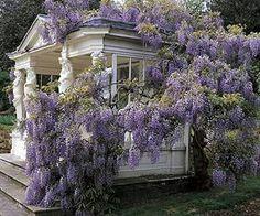 Garden Gazebo covered in Wisteria - glorious