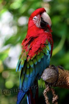 Ара красный самые красивые попугаи фото