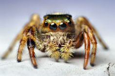 Jumping #spider