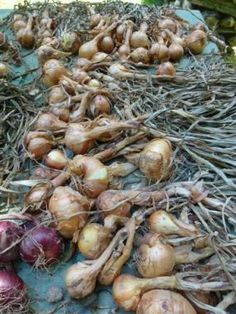 Growing Onion & Garlic - Vegetable Gardener