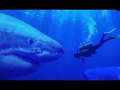 Real MEGALODON Shark Proofs! - World's BIGGEST SHARKS Are Not Extinct World's biggest shark ever - Megalodon - this giant sea monster is still alive... These...