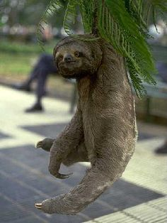 Sloth...just hangin out dude