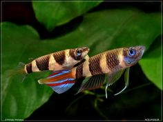 Clown Killifish - Pseudepiplatys annulatus