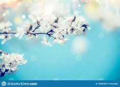 White Spring Cherry Blossom On Blue Background With Bokeh And Sunlight, Close Up. Abstract Floral Springtime Nature , Outdoor Stock Image - Image of bokeh, outdoor: 134907897 Game Room Basement, Bokeh Background, White Springs, Floral Photography, Blue Backgrounds, Logo Inspiration, Cover Photos, Spring Time, Sunlight