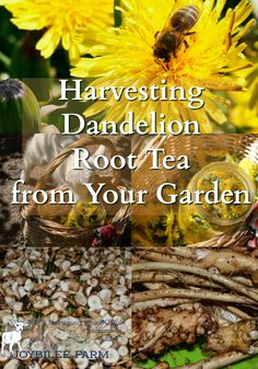 Dandelion contains a powerful antioxidant, detoxifier, and liver and kidney tonic?  Dandelion root tea has been shown to reduce cancer tumors and resolve leukemia in scientific studies in Canada.  It reduces the body's toxic load allowing the body's own detoxification system to function optimally, reversing cancer and other health issues.  You have this miracle herb, dandelion root, growing near you, just waiting to be harvested and used in your daily tonic tea.  Learn to use this…