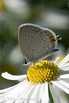 épinglé par ❃❀CM❁✿⊱Eastern Tailed Blue (Cupido comyntas) is a butterfly of eastern North America. Butterfly Kisses, Butterflies, Daisy, Orange Chevron, Bees Knees, Hummingbirds, Central Park, Mother Earth, Beautiful Creatures