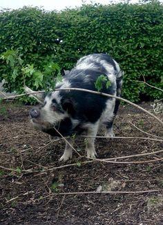Piggie via Flickr                                                                                                                                                           Piggie                                                                        ..