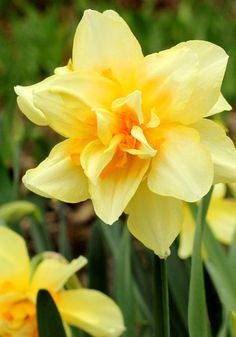 Twink daffodil, 1925 oldhousegardens.com