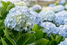 This is true for many types of Hydrangeas. You can change the colour of your Hydrangea by altering the. Pruning Hydrangeas, Types Of Hydrangeas, Hydrangea Shrub, Hydrangea Quercifolia, Planting Flowers, Flowering Plants, Blue Hydrangea, Fast Growing Shrubs, Gardens
