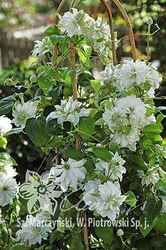 Clematis 'Maria Skłodowska Curie'PBR White Clematis, Pink Bar, New Growth, Blue Flowers, Perennials, Pergola, Decoration, Plants, Gardens