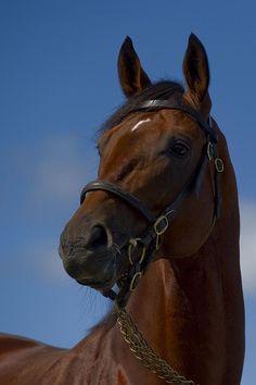 Big Brown, stallion. Kentucky Derby winner