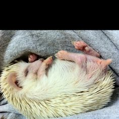I've seen many adorable hedgie pics, but this ranks near the top!!!