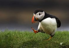 puffin bird walking wings behind back thinking cute animals wild wildlife species planet earth nature pics pictures photos images Baby Animals, Funny Animals, Cute Animals, Animal Memes, Wild Animals, Animal Humour, Animal Captions, Funniest Animals, Animal Funnies