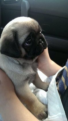 "How could you ever say ""no"" to that face? #Pug #Dog"