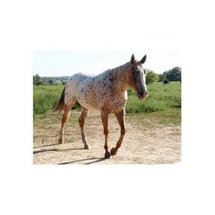 STUNNING CHESTNUT LEOPARD MARE G-DAUGHTER OF GOWIN! SHE'S NICE! ❤ liked on Polyvore featuring animals, horse and pets