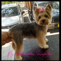 31 Best Yorkie Hairstyles Images On Pinterest Dog Grooming Styles