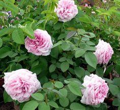 'Mrs. Paul' Rose Photo