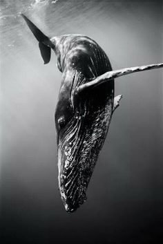 Mermaid for a Day: Humpback Whale is OK ( for now ). Make note to keep an eye on her for awhile.