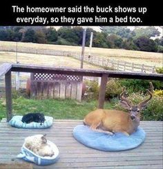 The homeowner said the buck shows up every day, so they gave him a bed too.