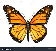 Photo about Monarch Butterfly with open wings in a top view as a flying migratory insect butterflies that represents summer and the beauty of nature. Image of wings, isolated, majestic - 27320476 Butterfly Clip Art, Butterfly Images, Butterfly Frame, Monarch Butterfly, Butterfly Wings, Quilling Butterfly, Butterfly Project, Butterfly Canvas, Butterfly Bush