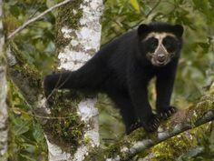 Maquipucuna Cloud Forest Reserve, Ecuador   Spectacled Bear (Tremarctos Ornatus) Cub, Maquipucuna Nature Reserve ...