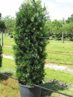 Dwarf yaupon holly plants for west texas pinterest dwarf japanese yew tree sciox Choice Image