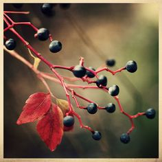 Autumn Berries by K.Hurley, via Flickr